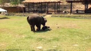 Elephant Saw Her Caregiver Being 'Attacked', Rushed To The Rescue