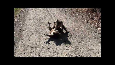 Koala fight