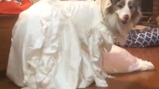 A Dog Wears A Wedding Dress