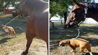 Adorable video shows dog taking his equine friend for walkies