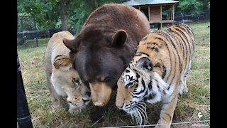 It's strange that a bear befriends a lion