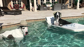 Laid back Great Danes chill out in the pool