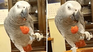 Parrot incredibly eats strawberries with a fork