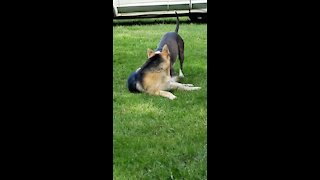 Dogs Play Fight