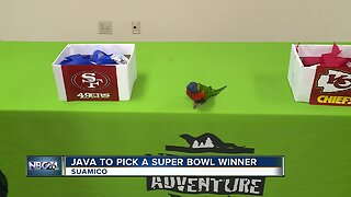 Java from the NEW Zoo and Adventure Park shares Super Bowl prediction
