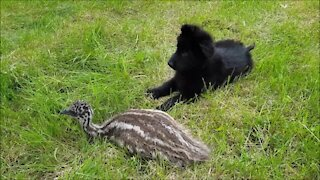 Puppy and emu share unique and beautiful friendship