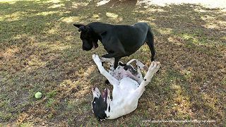 Playful Great Dane Puppy Loves Upside Down Wrestling