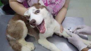 Ce chien est terrifié chez le vétérinaire!