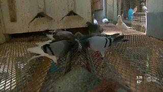 Local racing pigeon team back after surviving horrific crash in Weeki Wachee