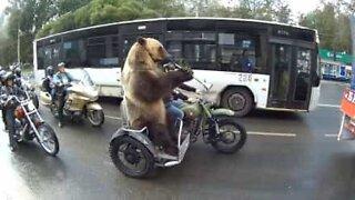 Denne motorsykkelkjørende bjørnen liker ikke trafikk
