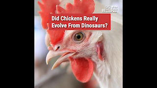 A Brief History of Chickens: Where Do They Come From?