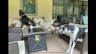Visiting Great Danes know how to make themselves right at home
