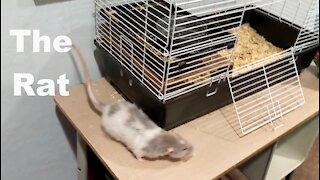 The Rat: Takes a Tumble