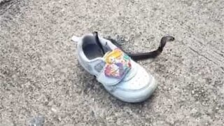 Snake is found inside child's shoe
