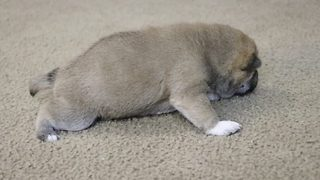 Adorable footage shows two-week-old puppy taking her first steps