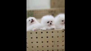 Funny Puppies And Cute Puppy Video , puppy love