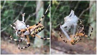 Aranha captura sapo de forma impressionante