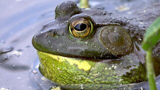 Gigantic bullfrog bellows out a loud croak in the lillypads