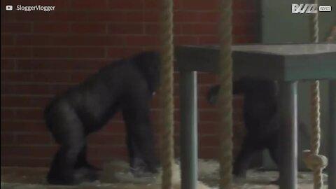 Brincadeira entre irmãos gorilas é filmada em zoológico na Ingaterra