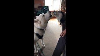 Huskies sing the song of their people
