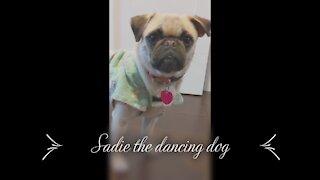 Adorable pug dancing like a ballerina