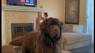 Watch out! Huge Newfoundland wants to plays catch with family