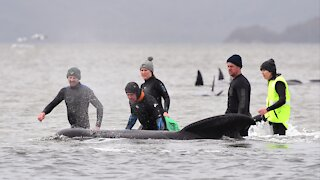 Australian Officials Rescue 88 Whales From Worst Mass Beaching