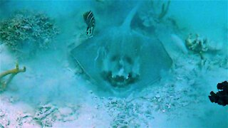 Strikingly clear devil face found on unusual stingray in Tonga