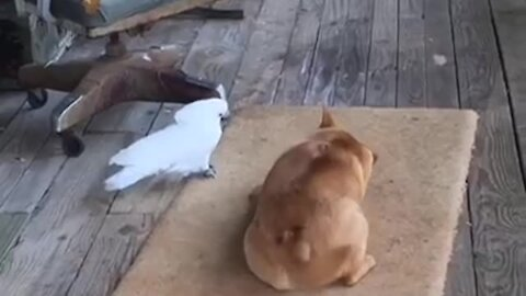 Sneaky cockatoo humorously tries to steal pup's treat
