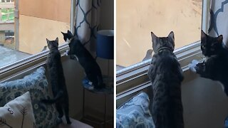 Kittens absolutely fascinated by bird flying into window