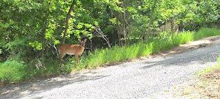 Deer on edge of road