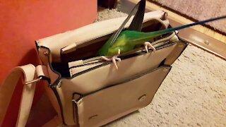 Nosy parrot dives inside owner's purse