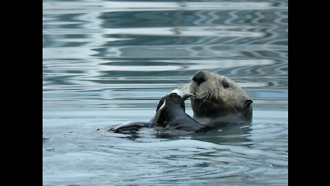Sea Otter Eating Fish