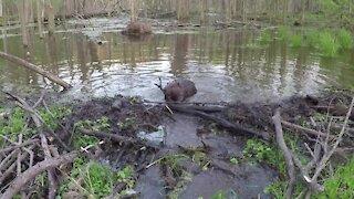 Canadian beaver quickly seals leak in dam