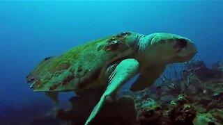 Gigantic loggerhead sea turtles square off menacingly in mating territory rivalry
