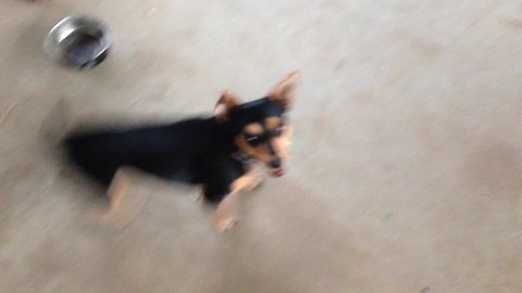 Excited dog can't stop spinning!