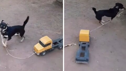 High-spirited puppy loves playing with his toy truck