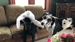 Funny Great Dane Puppy Tries To Swipe Easter Bunny Ears
