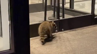 Raccoon window shopping