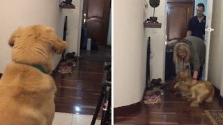 Best friend returns home and this Golden Retriever is the happiest dog