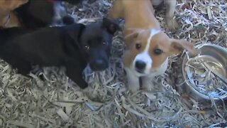 Local animal rescues see rise in dog surrenders, specifically from puppy mills unable to sell