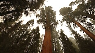 Protecting California's Giant Sequoia Trees Among Wildfires