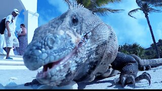 Huge lizard is thrilled to attend Canadian couple's Mexico wedding