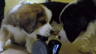 Adorable Puppies Are Having Blast Playing With Camera