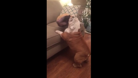"""""""Tap dancing"""" bulldog struggles to jump on couch"""