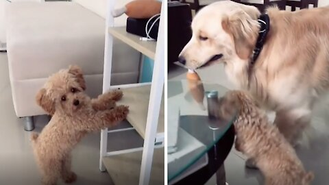 Golden Retriever helps puppy get her favorite toy
