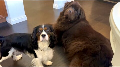 Newfie & Cavalier adorably demand their dinner