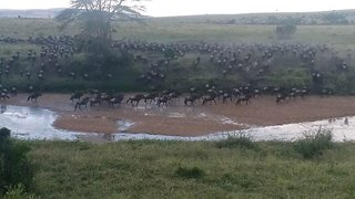 Everyone out of the pool: Huge herd of wildebeest escape from river bed after spotting pride of lions