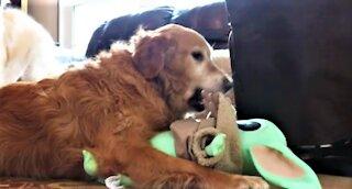 Funny Golden Retriever Dog Attacks Baby Yoda!