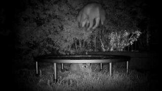 Søte revevalper leker på trampoline hele natten lang